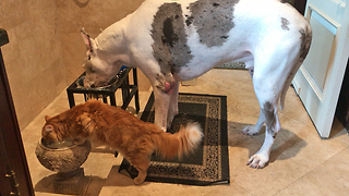 Great Dane and Cat Enjoy a Dinner and a Drink  - Video