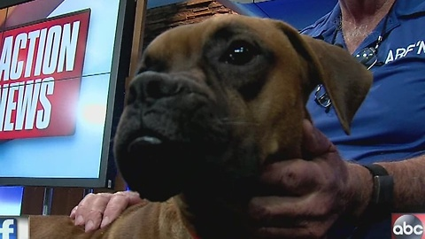 Pet of the week: Zeus is a 9-month-old boxer who loves to play with kids and other dogs