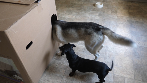Owner Surprises His Two Dogs By Hiding In A Giant Box
