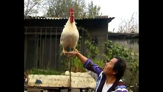 Xu Guoxing And His Performing Rooster - Video