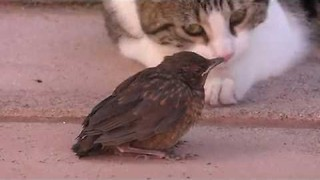 Gentle Cat Just Wants to Play With This Bird - Video