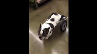 Dog in wheelchair browses treats at pet store - Video