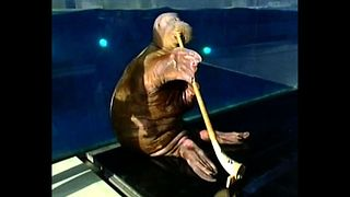 Walrus Plays Horn - Video