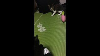 Kitten hilariously shocked by surprise cat attack