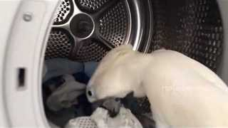 Helpful Cockatoo Assists Owner With Laundry - Video