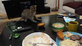 Bengal Kitten Picks Fight With Toast - Video