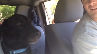 Dad Says They're Going To The Park, Then Labrador Loses It  - Video