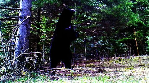 Wild bear is determined to get campers' food stashed in tree