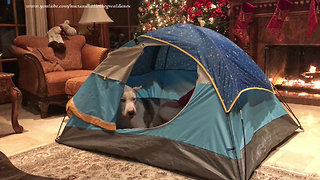 Funny Great Dane gets comfy in dog tent