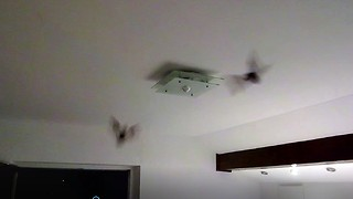 Pair of bats fly into couple's bedroom - Video
