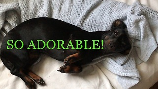 Lilly the dachshund plays dead upon command - Video