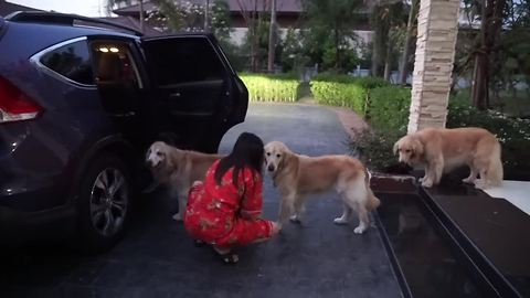 Golden Retrievers line up in an orderly fashion for car ride