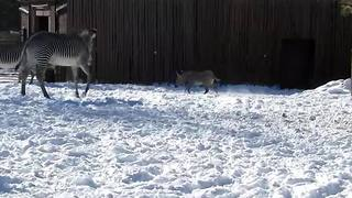 Zebra enjoys first snow at The Denver Zoo - Video