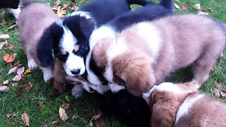 Nine adorable puppies play with stuffed animal