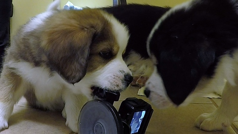 Adorable puppies can't resist attacking the camera