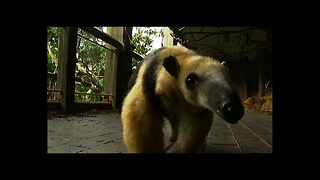 Meet Tammy The Anteater - Video