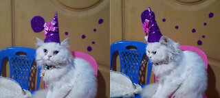 *Kitten's New Year Costume* Kitten Getting Ready For New Year Party