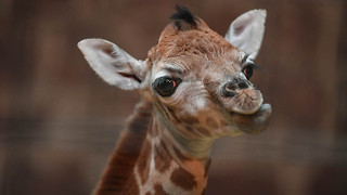 Baby Giraffe Arrives In Time For Christmas: ZooBorns - Video