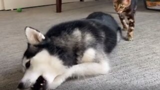 Totally relaxed dog isn't spooked by kitten's cuddle attack