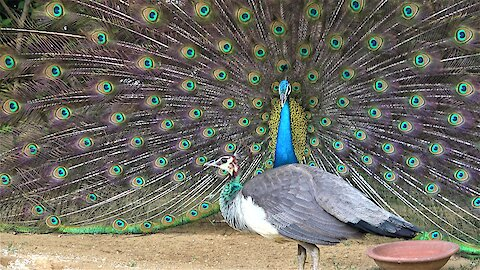 Wild peacock impressively struts his stuff and shakes his tail feathers for the ladies