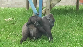 "Gorilla mother and her baby ""backpack"""