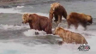 Bears Compete for Fishing Spots at McNeil Falls - Video