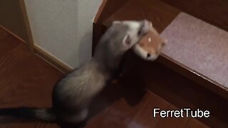 Ferrets bring their toys upstairs to hoard in hideout stash