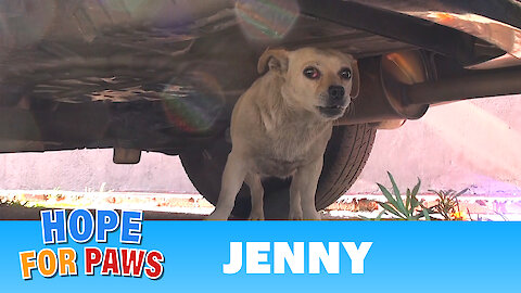 Saving Jenny - a homeless Chihuahua who just wanted to be loved. Please share.