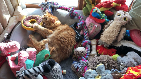 Cat plays with dog toys in Great Danes' bed
