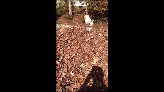 Westie puppy learns how to play in the leaves