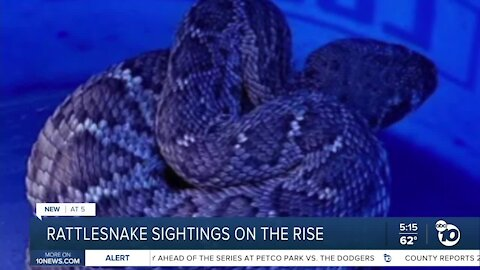 Rattlesnake sightings on the rise in San Diego County
