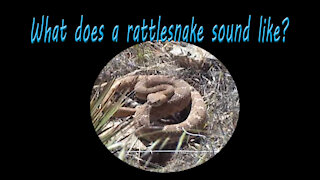 Do you know what a rattlesnake sounds like?