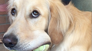 Golden Retriever Refuses To Share His Tennis Balls