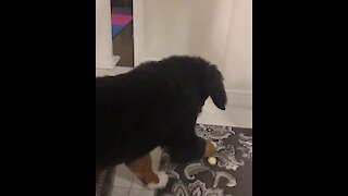 Bernese puppy absolutely baffled by lemon slice