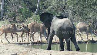 Grumpy elephant chases antelopes away from watering hole
