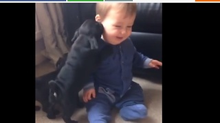 Baby finds pug puppies extremely amusing