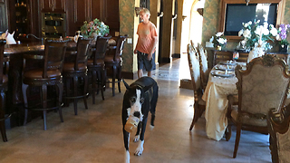 Happy Great Dane Cleans Out Peanut Butter Jar  - Video