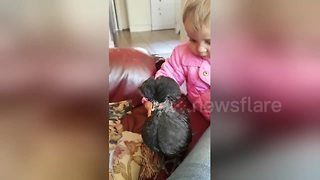 Animal-loving toddler plays with baby chickens