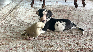 Cat watches new puppy play with stuffed animal