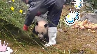 Playful Baby Panda Tries Hard to Distract Keeper From Work