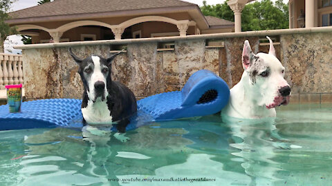 Great Danes go for a relaxing afternoon swim