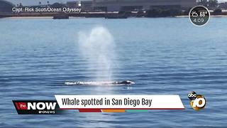 Whale spotted in San Diego Bay - Video