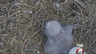 Second eagle cam egg likely won't hatch - Video