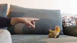 Cheep tricks – Talented parrot performs tricks - Video