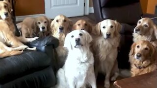 Golden Retrievers create the most beautiful stampede imaginable