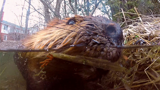 Curious beaver investigates submerged GoPro - Video