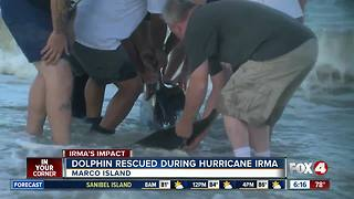 Dramatic dolphin rescue carried out on Marco Island after Hurricane Irma - Video