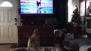 Labrador can't get enough of watching dogs on TV