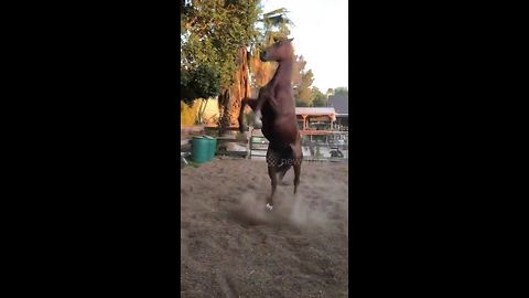 Horse playfully hops around in his pen like a big puppy