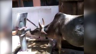 Clever Cow Pumps Water - Video
